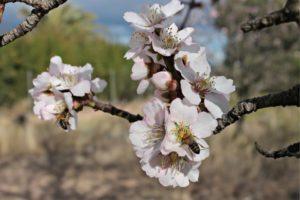 Propiedades de la miel de flor de almendro