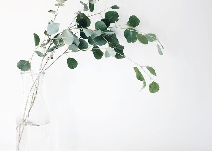 Aceite esencial de eucalipto: Beneficios para la salud